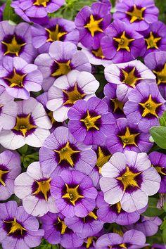Superbells Evening Star calibrachoa-rebloomer, Lovely lavender flowers feature a yellow star pattern and deep purple throat.