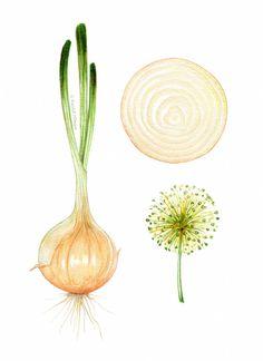 kendyllhillegas:  Sweet Onion, by Kendyll Hillegas   9x12, mixed...