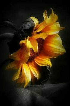 New Flowers Photography Ideas Art Inspiration Ideas Sunflower Pictures, Sunflower Art, Sunflower Drawing, Exotic Flowers, Amazing Flowers, Plant Pictures, Inspiration Art, Watercolor Art, Art Photography
