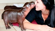 South African baby pygmy hippo. I'm a sucker for tiny versions of normally giant animals.