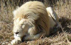 Albino Lion in Lion Park Limpopo, South Africa