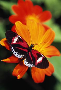 Butterfly On Flower Photograph by Natural Selection Ralph Curtin