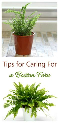 Care of Boston fern (nephrolepis exaltata) means keeping an eye on the humidity and not giving the plant too much sunlight.#ferncare #bostonfern