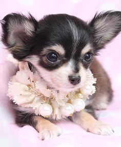 Adorable TeaCup Chihuahua, isn't she gorgeous !!