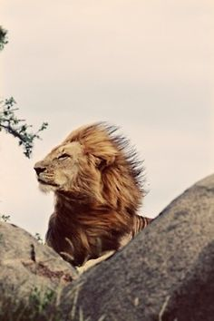 Lion's mane blowing in the wind