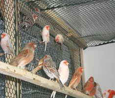 Birds For Sale,Mosaic canaries, mosaic canary, red mosaic, red factor Canary Bird For Sale, Canary Birds, Birds For Sale, Mosaic, Serin, Sale Sites, Factors, Nature, Birds
