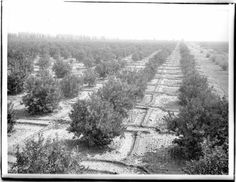 Large lemon orchard prepared for irrigation near Lankershim Boulevard in the San Fernando Valley, ca.1900.