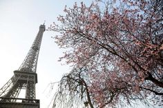 Vincent Isore/IP3 ; Paris, France March 2015 - Illustration of a tree in blossom at springtime, as b... - Vincent Isore/Newscom/MaxPPP