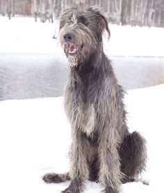 IRISH WOLFHOUND    Famously the largest breed of dog in the world, Irish Wolfhounds tend to be gentle giants. A very old breed, precursors to the Irish Wolfhound originated in Greece, and are believed to have been imported to Ireland around 1500 B.C. They  were bred even larger, turning into the dogs we're familiar with today. Irish Wolfhounds grew legendary in Ireland, esteemed for their ability to fight wild animals for sport and in hunting, but also for their agreeable nature and…
