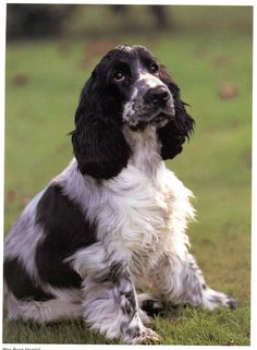 I have a real soft spot for Cocker Spaniels, my childhood dog was a cocker named Charlie.