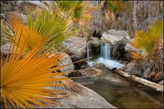 Andreas Palm Canyon ~ California fan palm trees along creek in Andreas Canyon, one of the Indian Canyons on the Agua Caliente Indian Reservation near Palm Springs, California.