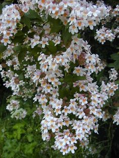 Beauty Bush (A gorgeous old fashioned shrub that has fallen out of fashion but is worth a comeback!)