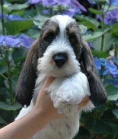 grand basset griffon vendeen puppies - Google zoeken