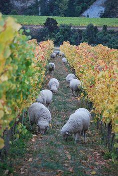 Pecore nella vigna