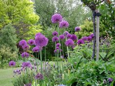 Allium & color echo Spanish lavender which blooms earlier than English. Planting Bulbs, Planting Flowers, Purple Perennials, Spanish Lavender, Lily Bulbs, White Flower Farm, Bulbs For Sale, Purple Garden, Chelsea Flower Show