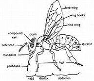 Worker honeybees have six legs and three main body parts