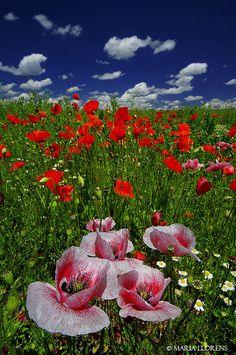 Spring - Poppy Field