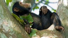 Un chimpanzé dans un arbre
