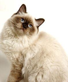 Chocolate Point Ragdoll Cat