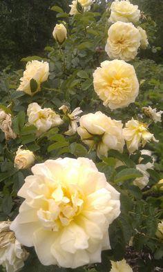 ~Agnes - Rugosa rose.