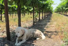 Harney Lane Winery Lodi, California I had heard a lot of talk about the Lodi region of Northern California wine country lately, but I didn't expect the wine tasting experience there to be so rewarding. Harney Lane Winery showcases...  MORE