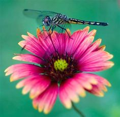 Dragonfly- Enjoyed catching them when I was little girl, they come in different colors.