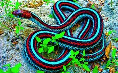 The red-sided garter snake is nowhere near this bright.