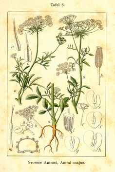 Ammi visnaga (busnaga) Khella (Ammi visnaga) was originally cultivated by the ancient Egyptians who used it to treat many ailments, including urinary tract diseases. It was also used in the Middle Ages as a diuretic.