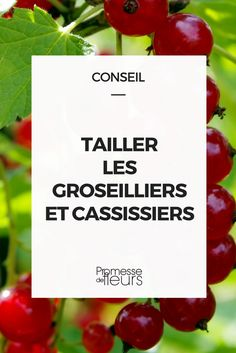 garden care vegetable Cut the currants and blackcurrants- Tailler les groseilliers et cassissiers Size of currants - Potager Garden, Garden Trellis, Herb Garden, Container Gardening Vegetables, Container Plants, Vegetable Gardening, Currant Bush, Gemüseanbau In Kübeln, Permaculture Design
