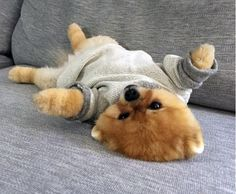 Puppies - cute and Wuvely Cute Dogs And Puppies, Baby Dogs, I Love Dogs, Doggies, Cute Funny Animals, Cute Baby Animals, Animals And Pets, Jiff Pom, Socializing Dogs