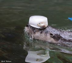 Not a bad way of transporting your food through the water, otter - December 30, 2018