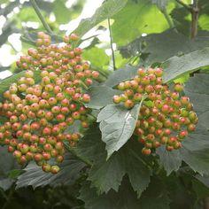 #weissdorn Kraut, Plants, Flower Plants, Garden Plants, Medicinal Plants, Plant, Planets