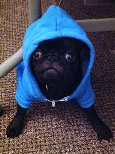 Rocky pug is suited up for training time