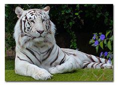 WHITE TIGER - BOX CANVAS ART PICTURE PRINT A1 (30x20 inch) Cheryl Monaghan http://www.amazon.co.uk/dp/B00XRP8KOI/ref=cm_sw_r_pi_dp_VRjwvb1X29F72
