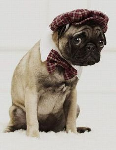 such a stylish pug