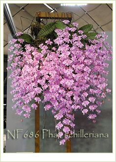 Phalaenopsis Schilleriana Pink Butterfly | Phal. schilleriana ' Fragrant Butterfly' x Phal. schilleriana ' Pink ...