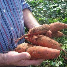 Süßkartoffeln ernten