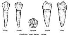 Premolars Dental Hygiene Student, Dentistry, School Stuff, Tooth, Al Dente, Dental Anatomy, Teeth, Dental