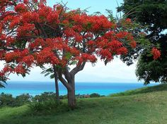 A Flamboyan on the Beautiful Island of Vieques, Puerto Rico Red Flowers, Beautiful Flowers, Simply Beautiful, Puerto Rico Island, Caribbean Culture, Flamboyant, Flower Pictures, Pictures To Paint, Beautiful Islands