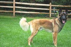 Riser es un Belgian Tervuren joven que mide 24 pulgadas.  Él tiene el pelo moreno y negro.