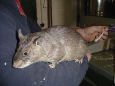 Gambian Pouched Rat. This is the largest rat in the world, they can grow to be 3 feet long and weigh as much as 9 pounds