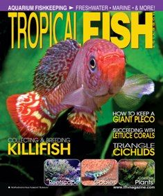 Killifish are often difficult to find in the hobby. They come from far-flung locations, and many have short life spans and challenging breeding habits, but their beauty makes all the effort to find, keep, and breed them worthwhile to dedicated hobbyists. This month we feature several articles on finding, keeping, and breeding these tiny gems in celebration of this year's 52nd annual American Killifish Association convention.