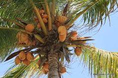 Afbeeldingsresultaat voor Kokospalm