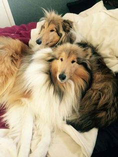 All about fun Shetland Sheepdog puppies and kids … - Cats and Dogs House Collie Puppies, Collie Dog, Dogs And Puppies, Doggies, Sheep Dog Puppy, Dog Cat, I Love Dogs, Cute Dogs, Scotch Collie