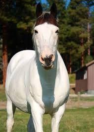 Image result for medicine hat horse