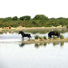 Cavallini selvaggi.La Giara