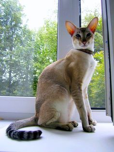 Ориентальная кошка (фото): восточная красавица в вашем доме Смотри больше http://kot-pes.com/orientalnaya-koshka-foto/