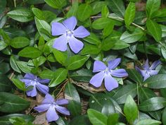 Vinca minor (lesser periwinkle): can be planted over bulbs