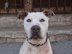 TO BE DESTROYED 5/23/14 Brooklyn Center -P  My name is FRIDAY. My Animal ID # is A1000253. I am a male blue and white pit bull mix. The shelter thinks I am about 10 YEARS old.  I came in the shelter as a STRAY on 05/18/2014 from NY 11207, owner surrender reason stated was STRAY.