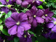 clematis- great plant to climb a trelis behind our mailbox
